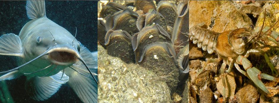Aquaculture mussels, aquaculture catfish, aquaculture crawfish