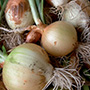 Australian Brown Onion, One Community