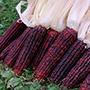 Bloody Butcher corn, One Community