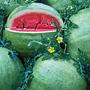 Chelsea Watermelon, One Community