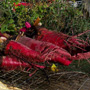 Colossal Long Red Mangel Beet, One Community