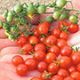 Currant, Sweet Pea Tomato, One Community