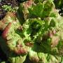 Grandpa Admire's Lettuce, One Community