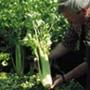 Pascal Giant Celery, One Community