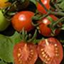 Principe Borghese Tomato, One Community
