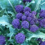 Purple Sprouting Broccoli, One Community