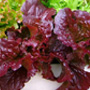 Red Velvet lettuce, One Community
