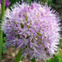 Allium macleanii, One Community