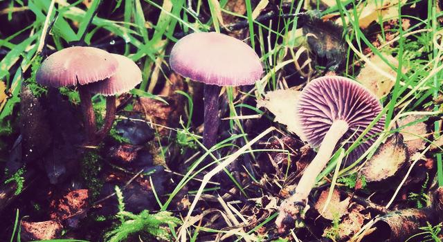 Mushrooms clean up radioactive contamination