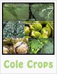 cabbage, cauliflower, broccoli, kale, brussel sprouts, gardening, planting, growing, harvesting, one community, recipes