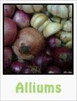 alliums, garlic, elephant garlic, onions, red onions, yellow onions, purple onions, gardening, planting, growing, harvesting, one community, recipes