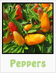 peppers, red peppers, yellow peppers, chili peppers, bell peppers, serano, habanero, gardening, planting, growing, harvesting, one community, recipes