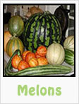melons, watermelons, canteloupes, summer melons, gardening, planting, growing, harvesting, one community, recipes