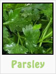parsley, italian parsley, flat leaf parsley, gardening, planting, growing, harvesting, one community, recipes