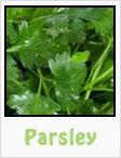 parsley, italian parsley, flat leaf parsley, gardening, planting, growing, harvesting, one community, recipes