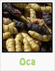 oca, dark oca, gardening, planting, growing, harvesting, one community, recipes