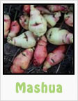 mashua, gardening, planting, growing, harvesting, one community, recipes
