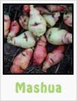 mashua, gardening, planting, growing, harvesting, one community, recipes