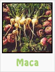 maca, maca root, maca plant, gardening, planting, growing, harvesting, one community, recipes