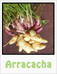 arracacha, arracacha root, gardening, planting, growing, harvesting, one community, recipes