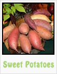 sweet potatoes, sweet potato plant, gardening, planting, growing, harvesting, one community, recipes