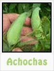 achochas, achocha plant, achocha recipes, gardening, planting, growing, harvesting, one community, recipes