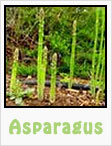 asparagus, asparagus plant, asparagus recipes, gardening, planting, growing, harvesting, one community, recipes