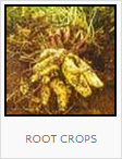 Food Forest Root Crops Plantings, One Community